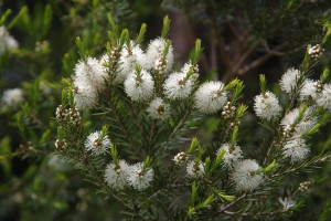 Tea tree oil – aboriginernas magiska olja