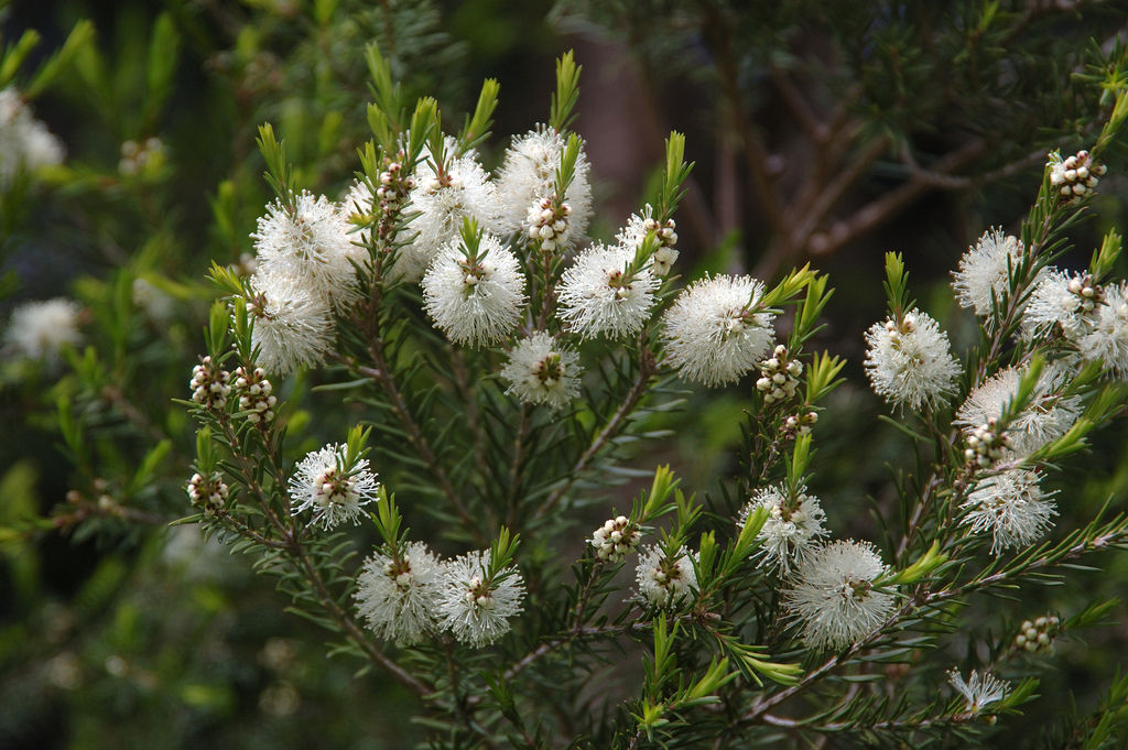 Tea tree oil kommer från melaleuca alternifolia