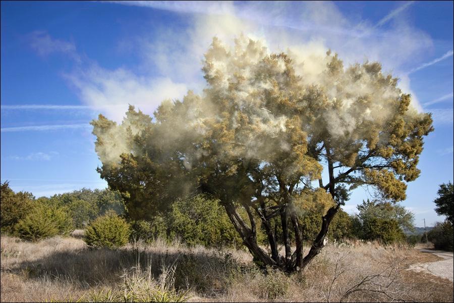 Pollenallergi kan uppstå när ett träd släpper ifrån sig pollen